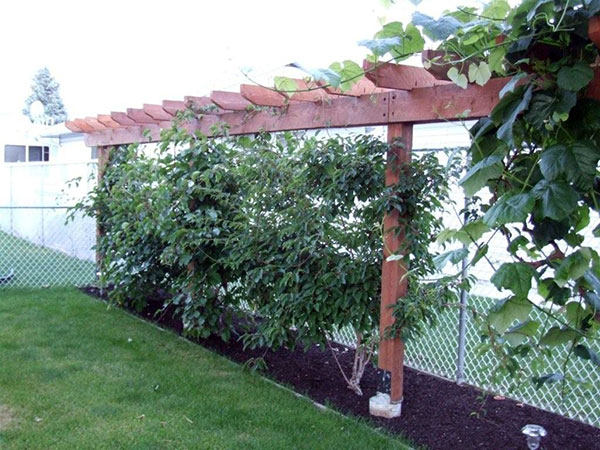 Hardy kiwi vine growing on two wires in this dividing pergola